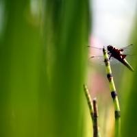 libellule sur prêle