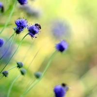 abeille sur succise