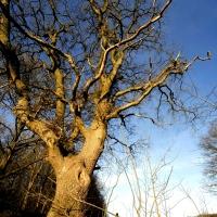 arbre cornier